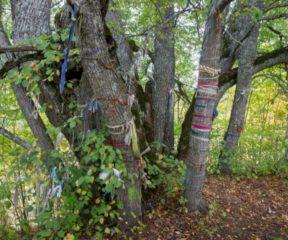ilumäe_hiieniinepuu_-2